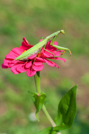 arachnida: Praying mantis sitting on a purple flower