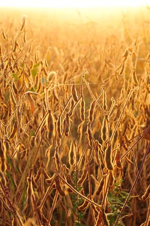 soya bean plant: Field of soybean lit by warm morning light