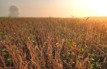 soya bean plant: Field of soybean in warm early morning light