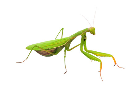Praying mantis isolated on a white background