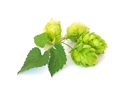 common hop: Green hops on white background Stock Photo