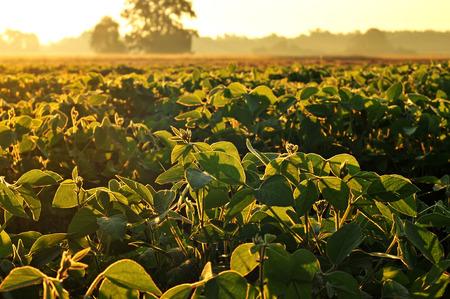 soya bean plant: Soybean field in early morning