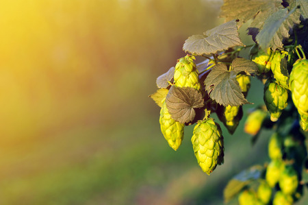 common hop: Green hops, lit by a warm sun light