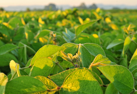 Close up photo of soybean plant lit by warm sun light