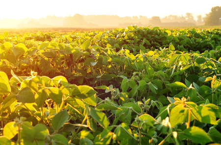 Soybean field, lit by warm early morning sunlight