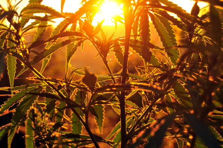 Close up of cannabis plant, back-lit by morning sun