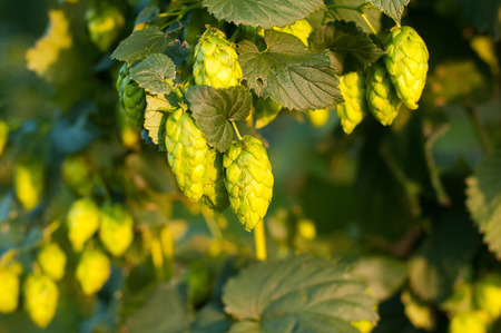 common hop: Close up photo of a green hops Stock Photo