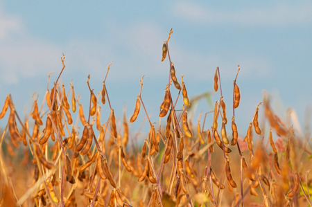 Close up of a ripe soybean plants