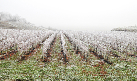 Photo of frost covered vineyard in winter Фото со стока