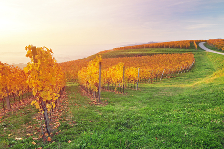 Yellow coloured vineyard on early autumn morning Фото со стока