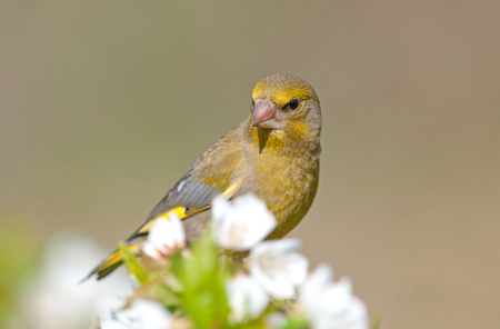 Greenfinch, selective focus on a head, shallow depth of field Stock Photo