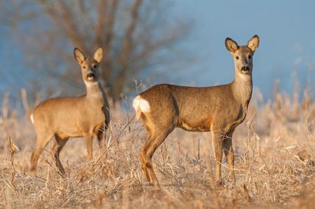 Wild female roe deer in a field Фото со стока