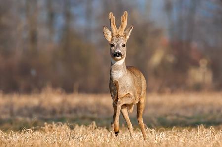 Wild roe buck standing in a field Фото со стока