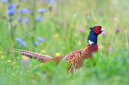 Wild male pheasant standing in a grass Stock Photo