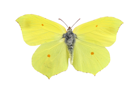 Common brimstone butterfly isolated on white background