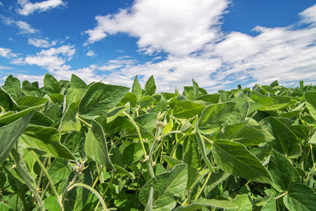 Close up photo of soy field on a bright sunny day