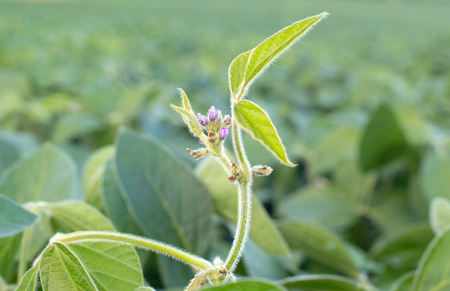 Close up photo of purple soy blossom