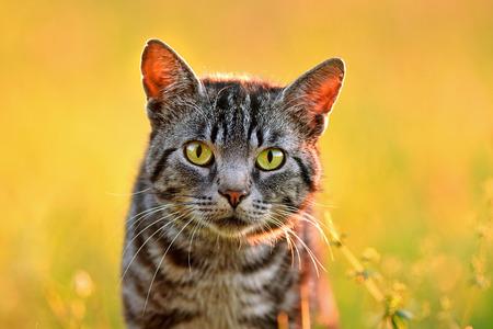 Portrait of domestic cat, back lit by evening light