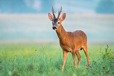 Roe buck met grote geweitakken in een veld Stockfoto - 83540329