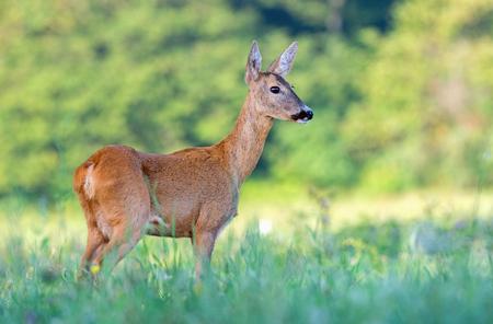 Wild female roe deer (capreolus capreolus) in a field