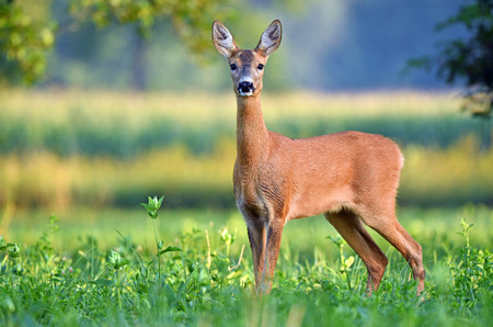 Ciervos hembra salvajes (capreolus del capreolus) en un campo