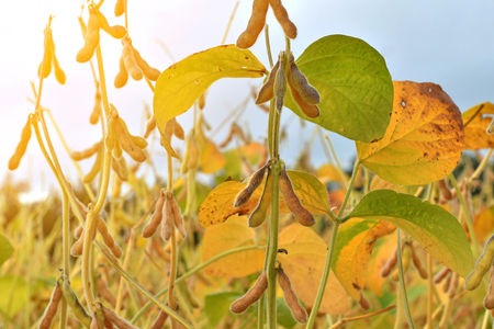 Close up of ripe soybean plants growing in a field
