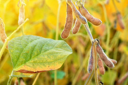 Ripe soybean plants growing in a field. Soy agriculture.