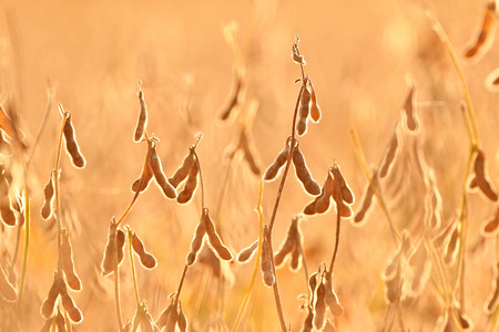Soy pods growing in a field. Soy agriculture Stock Photo