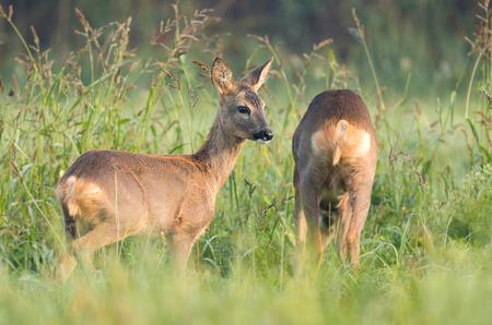 Two wild roe deers grazing in a field