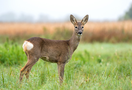 Wild roe deer in a field