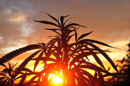 Silhouette of cannabis plant in early morning, growing outdoors
