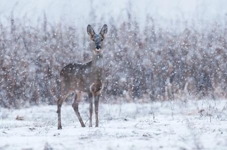 Wild roe deer in a snowstorm