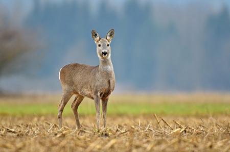 Wild roe deer standing in a field Zdjęcie Seryjne