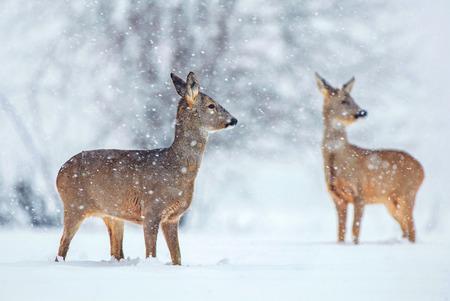 Wild roe deer standing in a snow covered field during snowfall Zdjęcie Seryjne