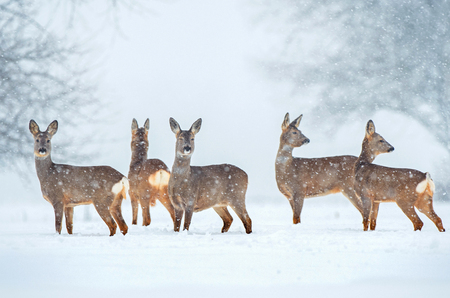Roe deer herd in a field during snowfall