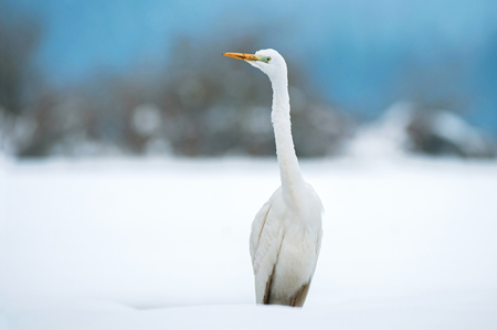Great white egret standing in a snow covered field