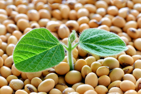 Young soy plant, germinating from soy seeds. Soy agriculture
