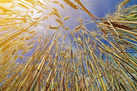 Field of barley on a bright sunny day Zdjęcie Seryjne