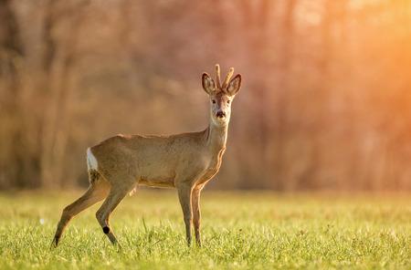 Wild roe buck lit by early morning light Zdjęcie Seryjne