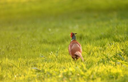 Wild pheasant in a lawn lit by evening light Zdjęcie Seryjne