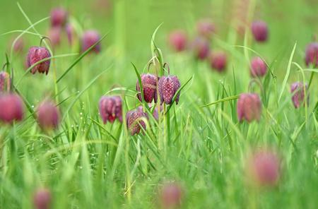 Snakes head fritillary flowers in a field. Endangered flowers Zdjęcie Seryjne