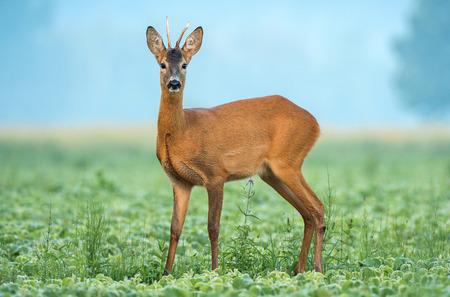 Wild roe buck standing in a soy field