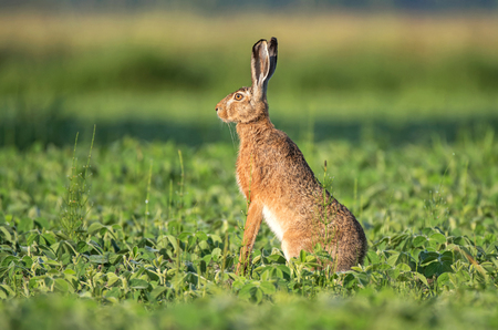 Brown hare sitting in a soy field Фото со стока - 104292488