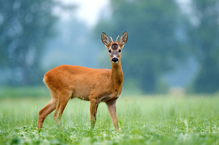 Young roe buck standing in a soy field