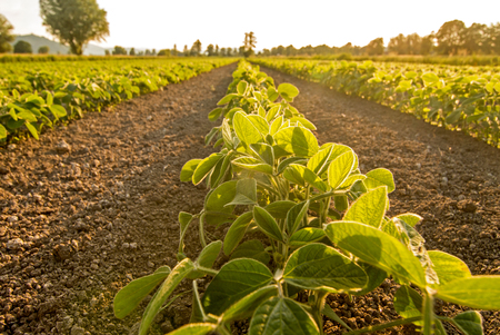 Young soy plants growing in a field, lit by warm evening light