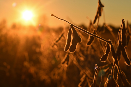 Mature soybean pods, back-lit by evening sun. Soy agriculture Zdjęcie Seryjne - 119846808