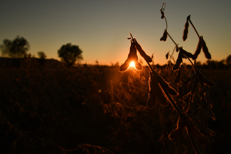 Mature soybean pods, back-lit by evening sun. Soy agriculture Zdjęcie Seryjne - 119846820