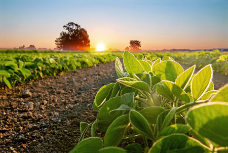 Soybean field and soy plants in early morning. Soy agriculture Imagens