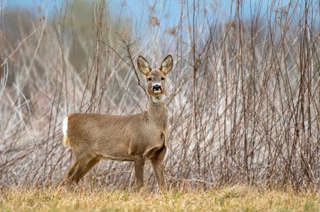 Wild female roe deer (Capreolus Capreolus) standing in a field