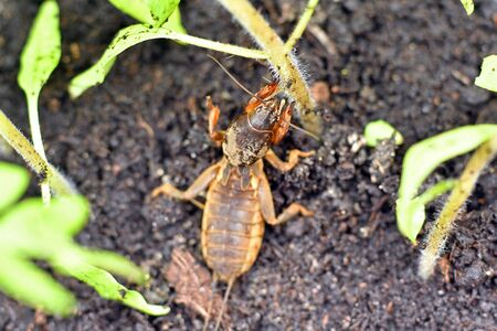 Mole cricket, eating a young tomato plant Zdjęcie Seryjne